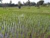 Ubud rýžová pole